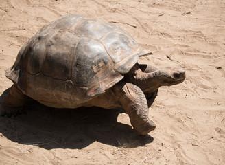 Large tortoise walking through the sand