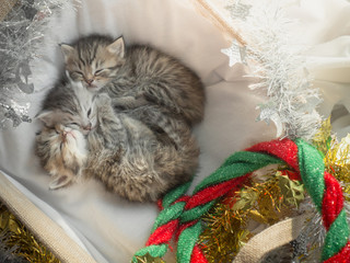 Cute tabby kittens sleeping and hugging in a basket on christmas day