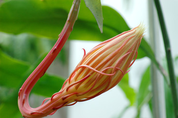 Close up on epiphyllum bud with green leaves