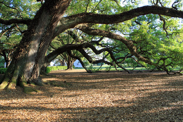 Enormous Oak Trees Stretch their long branches with the support of the ground.