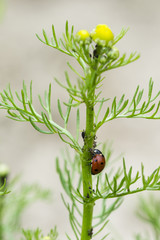 An ant ridding a ladybug on a chamomile stem with aphids.