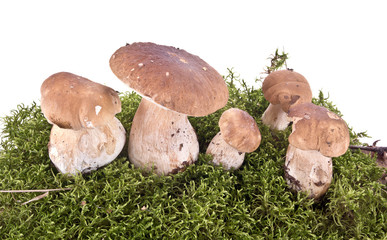 Cep on a hummock