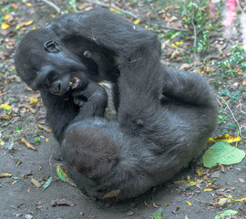 Closeup of a Pair of  Earth Toned  Baby Mountain Gorillas Wrestling