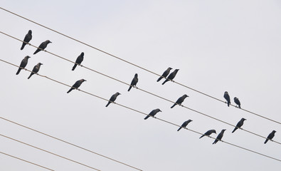 Pigeons sitting on electrical wires