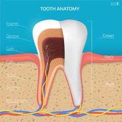 Vector tooth structure. Cross Section Anatomy with all parts.