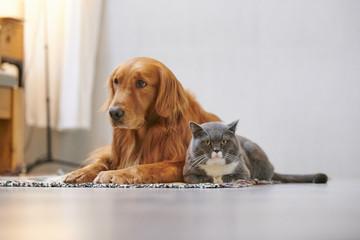 Golden retriever and British short cat