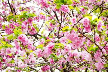 大阪造幣局の八重桜