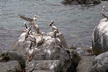 Chili ocean pacifique pélican nature