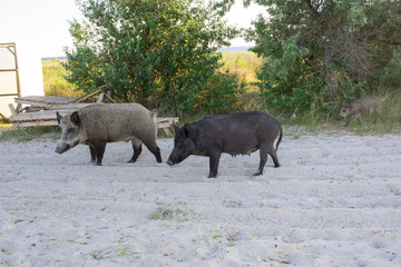 Two pigs walk on sea beach sands