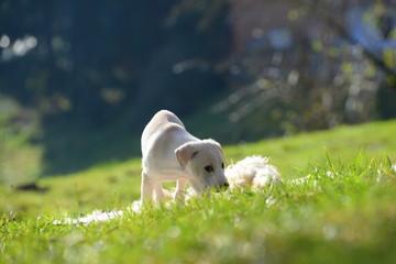 Przygoda szczeniaka, słodki szczeniak, bada ogród w promieniach słońca