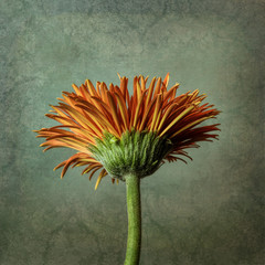 Orange gerbera, textured background
