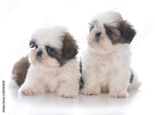 Two Shih Tzu Puppy Litter Mates Stock Photo And Royalty Free Images