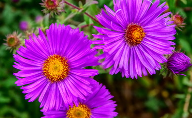 Violett blühende Astern