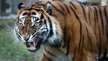 Photo sur Plexiglas Tigre Close Up Portrait of Sumatran Tiger