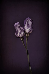 Two purple lisianthus buds, twisted