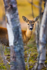One cute roe deer in the forest at fall