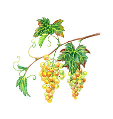 White grapes branch, watercolor drawing on a white background isolated with clipping path.