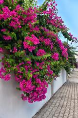 Bougainvillea flowers along the streets