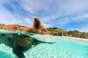 Swimming pig on Exuma island