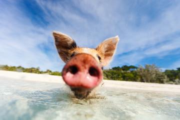 Wall Mural - Swimming pigs of Exumas