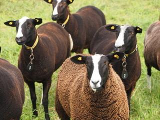 Zwartbless Schafe