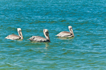 three brown pelicans / three brown pelicans swimming in a straight line on an autumn, tropical day in the Gulf of Mexico