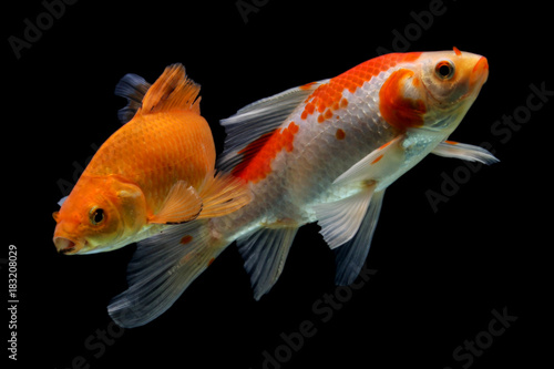 Koi fish red and white stock photo and royalty free for Red and white koi fish