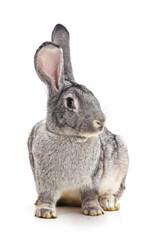 Grey baby rabbit.