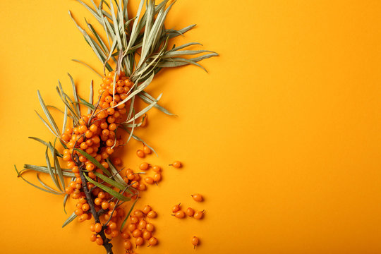 One branch of ripe sea buckthorn on yellow background