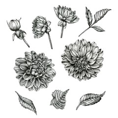 Flowers set of dahlias and leaves