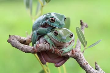 Tree frog, dumpy frog on branch