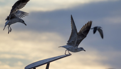 Flying seagulls, take off and landing