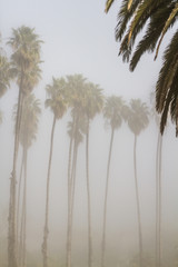 Palm trees in the fog, Refugio State beach park California