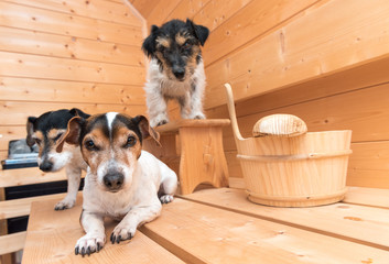 Dogs in the sauna - three jack russell terrier