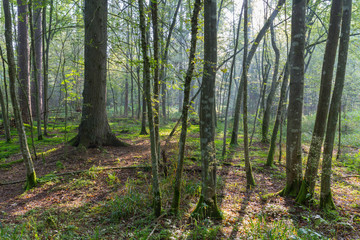 Fototapete - Natural stand of Bialowieza in morning mist