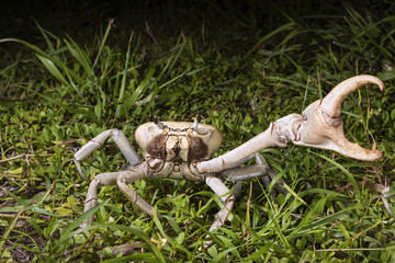 Blue land crab (Cardisoma guanhumi) in defensive posture at night, Caye Caulker Island, Belize, Central America