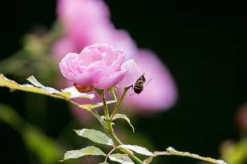 pink rose isolated with bee on it