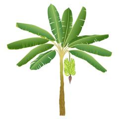 banana palm with bananas