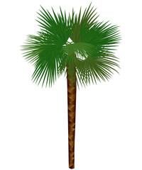 colored palm trachycarpus