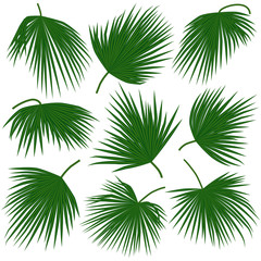 green palm leaves trachycarpus