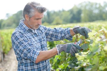 Man working on grapevines with secateurs