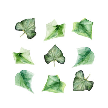A set of hand painted watercolor illustrations of ivy leaves on white