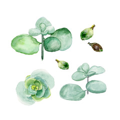 Crassula, money tree. Succulents isolated on a white background. Watercolor hand drawn illustration