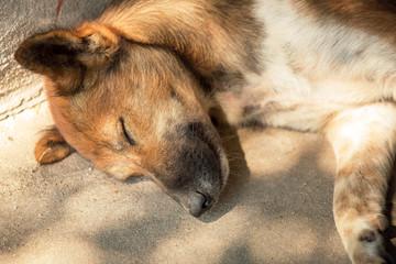 Thai dog sleeping at footpath