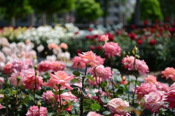 咲き競うバラの花