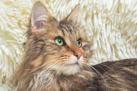 Norwegian Forest Cat, long-haired cat with green eyes lying on a soft white blanket in winter, head