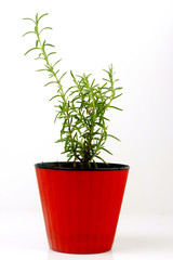 .Rosemary in a pot