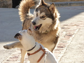 Perros jugando. Lobo vs Jack Russell en España