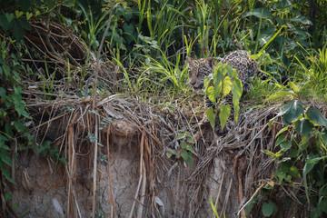 American jaguar cub in the nature habitat, panthera onca, wild brasil, brasilian wildlife, pantanal, green jungle, big cats