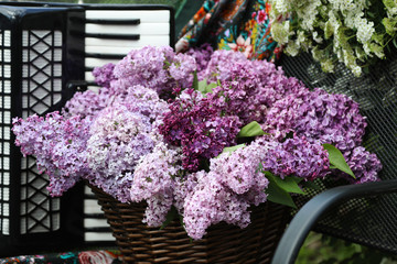 A bouquet of lilac in a wicker basket, an accordion on a garden bench in a spring garden. A bush of white spiraea in the background.